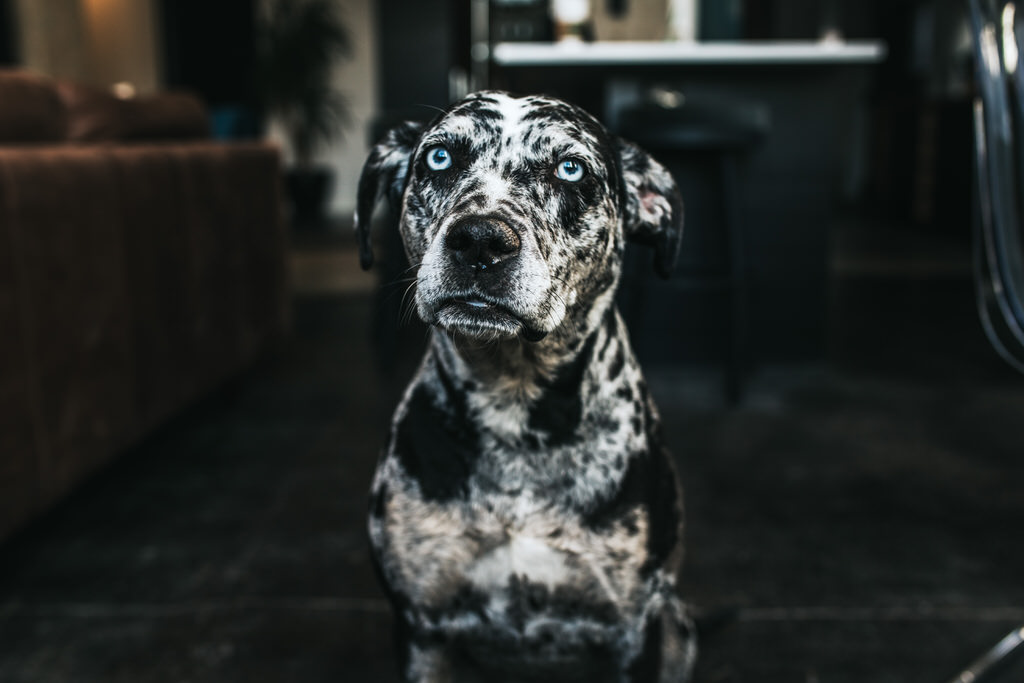 Catahoula leopard dog Sue Moodie Photography